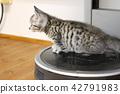 munchkin, kitty, pussy 42791983