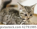 munchkin, kitty, pussy 42791985
