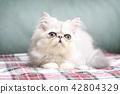 ลูกแมว 42804329