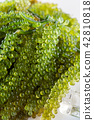 Sea grapes ( green caviar ) seaweed, 42810818