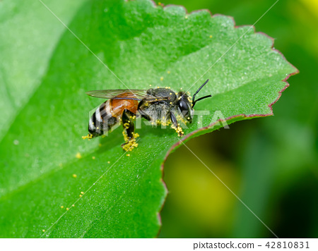 small bee with pollen on the legs 42810831
