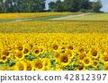 หมู่บ้านดอกทานตะวันในเมืองฮอกไกโดคิตะอุรุทุ่งดอกทานตะวันบานเต็มที่ 42812397