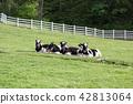 풀밭에 앉아 쉬고 있는 젖소 송아지 42813064