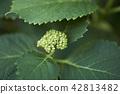 수국, 자양화, 식물 42813482