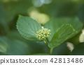 수국, 자양화, 식물 42813486