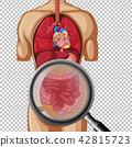 健康 解剖学 矢量 42815723