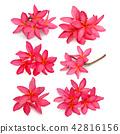 Tropical flowers frangipani  on white backgro 42816156