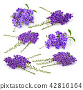 purple flowers  isolated on a white background. 42816164