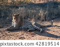 Leopard lying down in the dirt 42819514