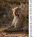 Profile of a leopard licking his own face 42819516