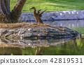 duck, bird, animal 42819531