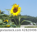 說到夏天的花朵,黃色的向日葵 42820496