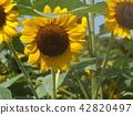說到夏天的花朵,黃色的向日葵 42820497