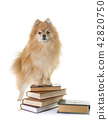 pomeranian spitz and books 42820750