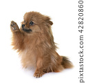 pomeranian in studio 42820860