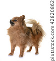 pomeranian in studio 42820862