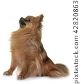 pomeranian in studio 42820863