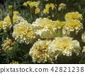 萬壽菊 花朵 花 42821238
