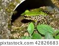 斯文豪氏赤蛙 Swinhoe's frog (Odorrana swinhoana) 42826683