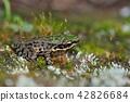 斯文豪氏赤蛙 Swinhoe's frog (Odorrana swinhoana) 42826684