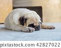 Cute Pug sleep on the floor. 42827022