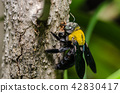 Carpenter bee in the nature 42830417