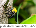 Carpenter bee in the nature 42830422