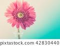 Pink gerbera daisy 42830440