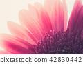 Pink gerbera daisy 42830442