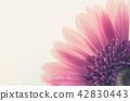 Pink gerbera daisy 42830443