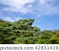 [중] 일본 정원의 소나무 【슈 젠지 무지개 마을] 42831419