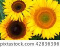 Sunflowers Background 42836396