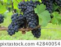 와인 포도 피노 누아 42840054