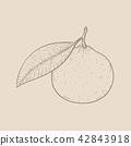Clementine. Hand drawn outline sketch on beige background 42843918