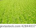 水稻 稻田 稻穗 42844037