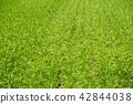 水稻 稻田 稻穗 42844038