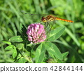 dragon-fly, dragonfly, bloom 42844144