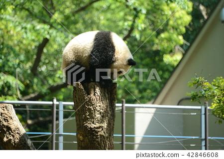 Tree climbing Shan Shan Ueno Zoo 42846608