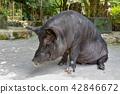 돼지, 방목, 동물 42846672
