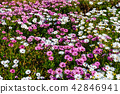 field of African daisy, natural background 42846941