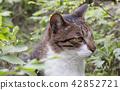 草叢中的貓 42852721