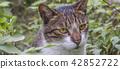 草叢中的貓 42852722