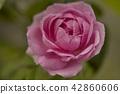 English rose flower blooming 42860606