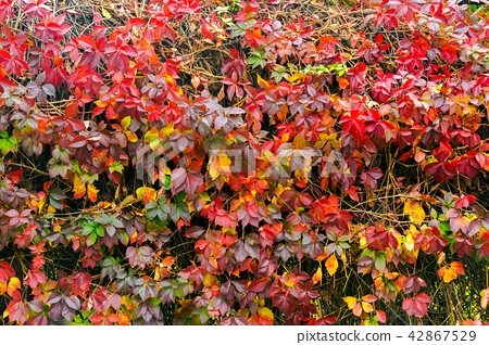 colorful texture of ivy plant on the wall 42867529