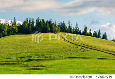 herd of sheep on grassy meadow 42867549