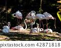 Flamingo 42871818