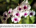 Orchid 42872061