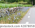 Roadside with Chicory flowers 42878058