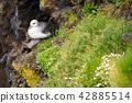 seagulls sitting on cliff in Londrangar iceland 42885514