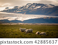 sheep in a field and Vatnajokull glacier Iceland 42885637